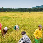 20130910-philippine-rice-01_B1144CA5789C4A7599453F76B7F332AA